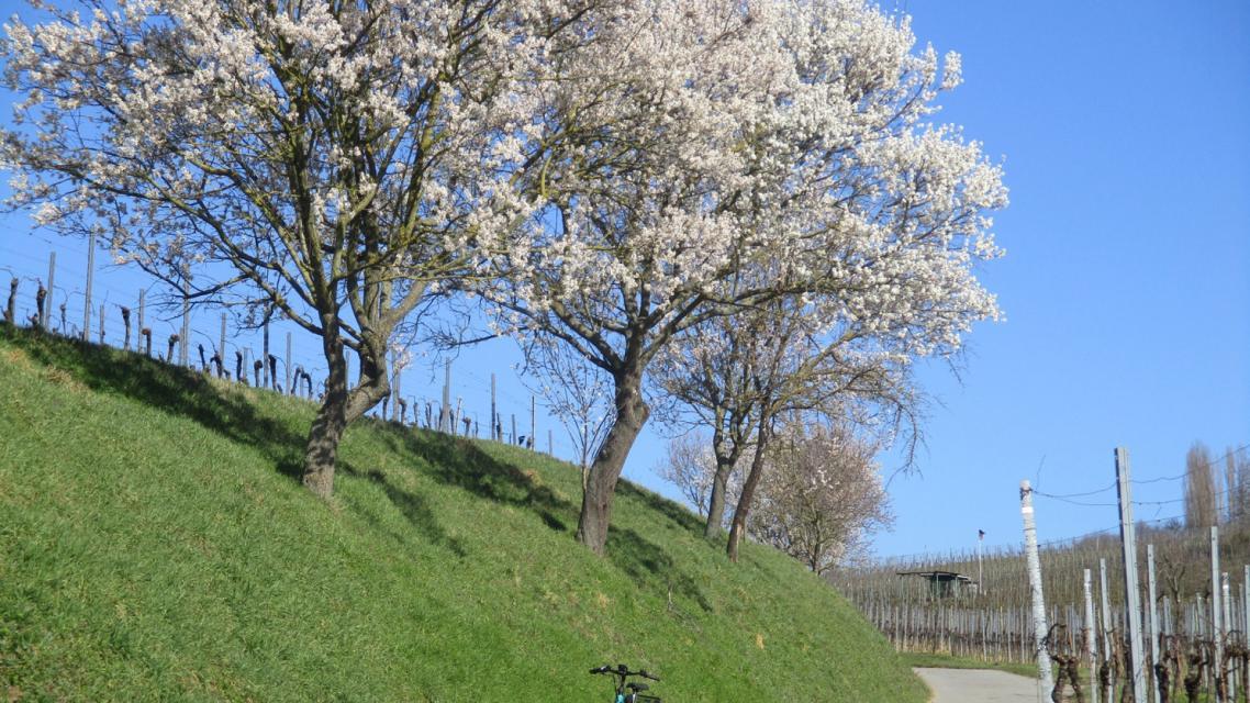 Mandelblüte an der Bergstraße