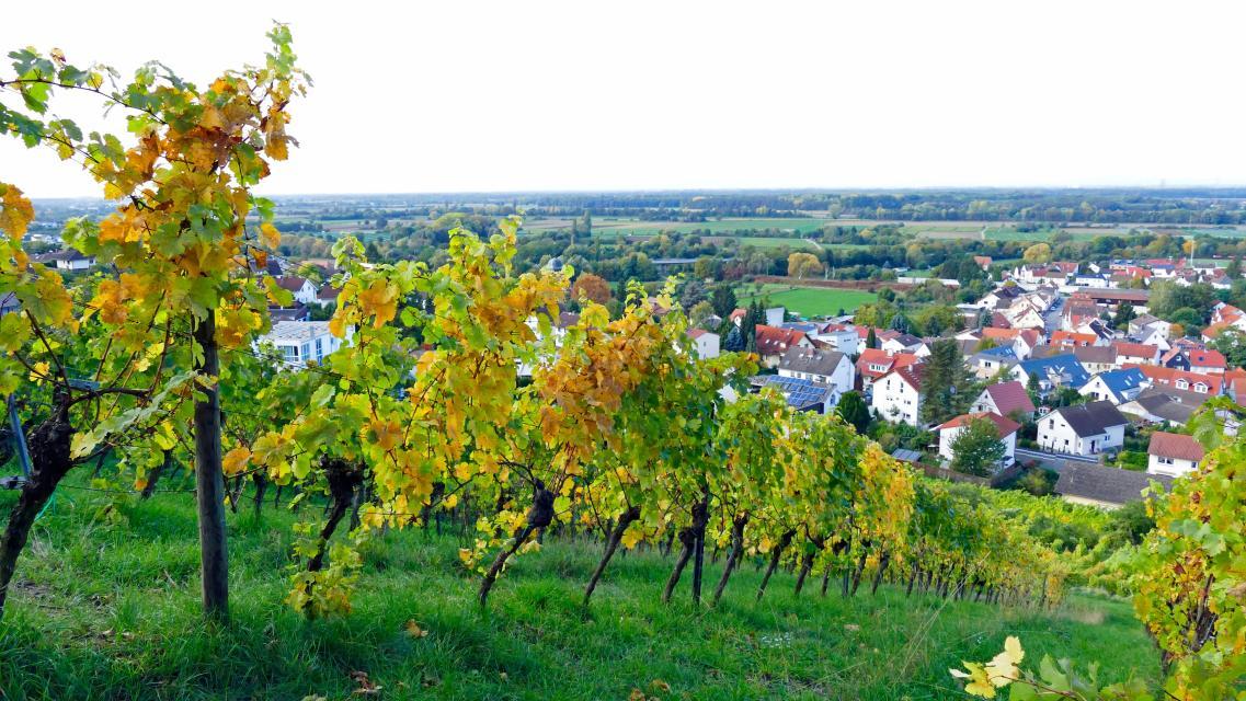 Weinberge bei Zwingenberg