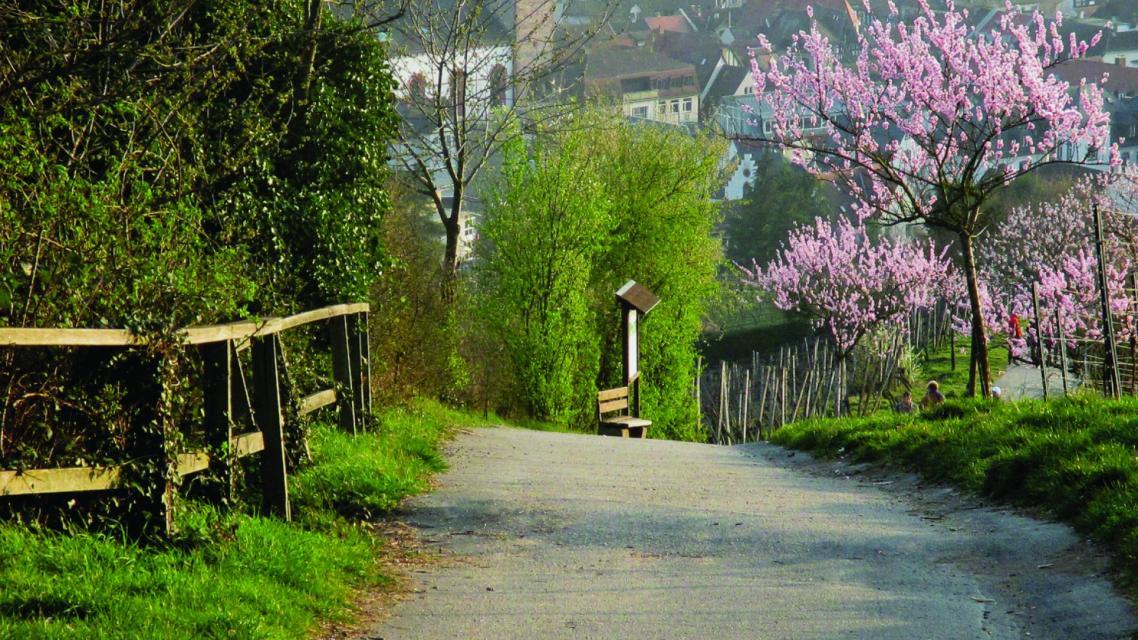 Weg vom Kirchberghäuschen ins historische Bensheim während der Mandelblüte