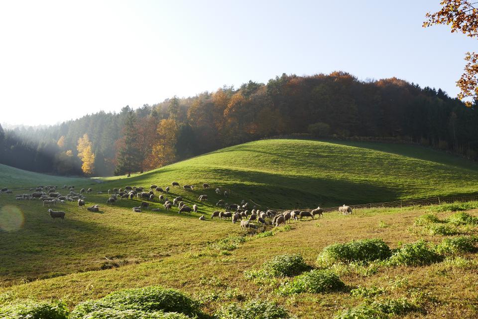 Schafweide