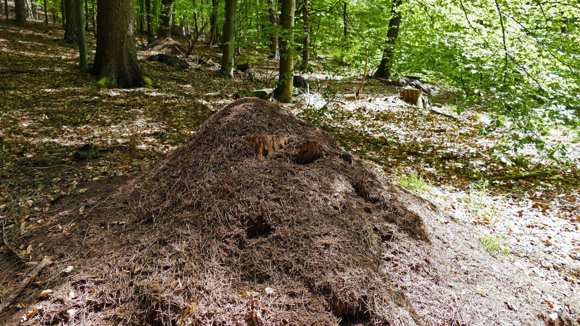 Ameisenhaufen am Wasserweg Rothenberg