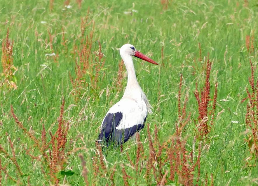 Storch im nördlichen Odenwald