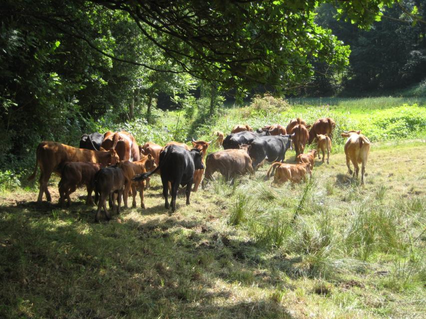 Kühe vom Hof