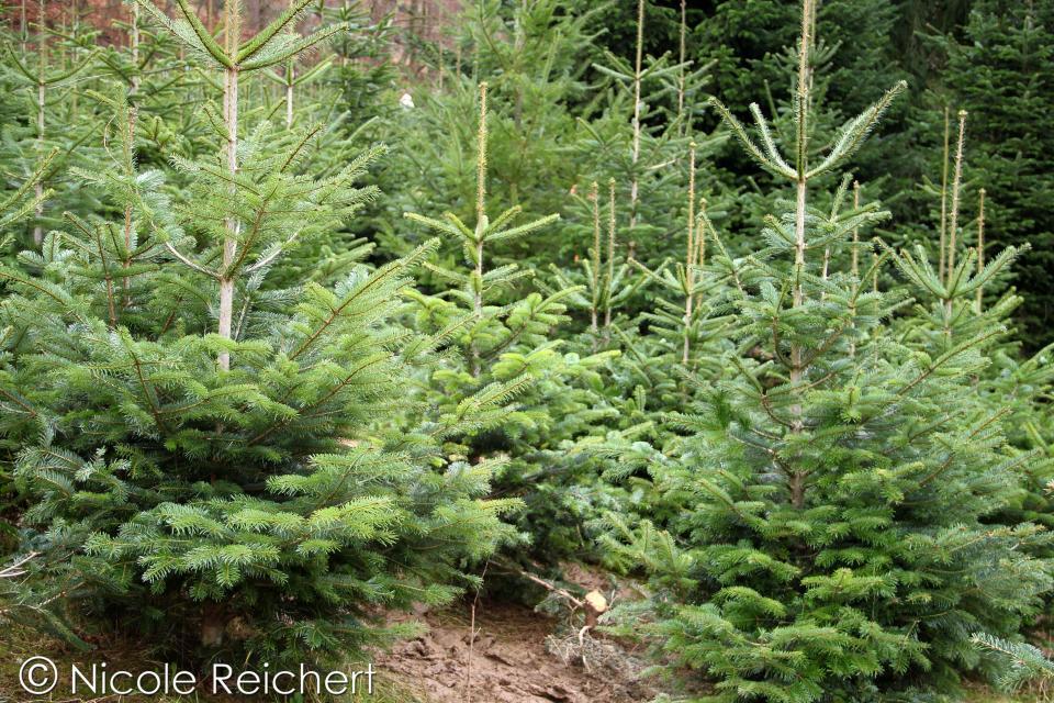 Weihnachtsbaumschonung