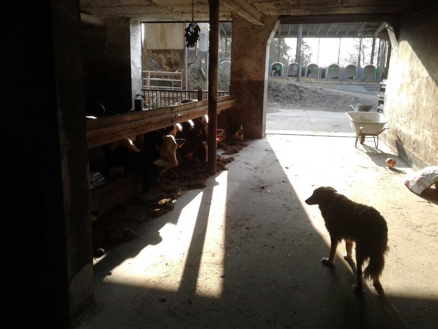Kühe und Hofhund