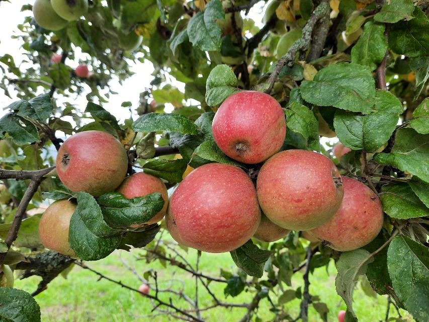 Odenwälder Äpfel