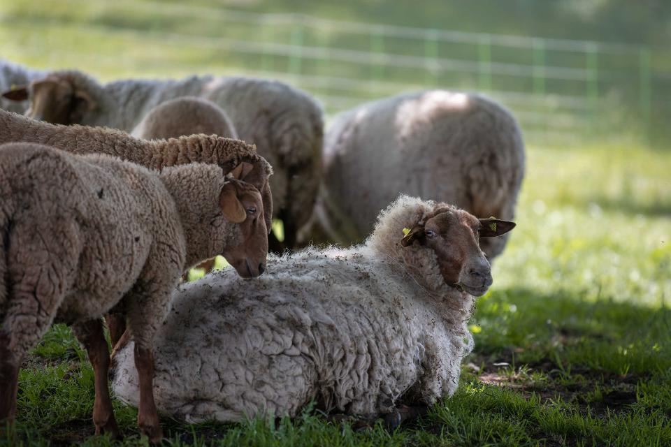 Schafherde in der Nachbarschaft