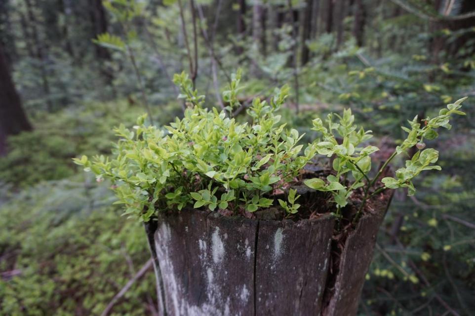 """Heidelbeerblüte am Silberberg, Wanderung mit """"Woid Woife"""""""