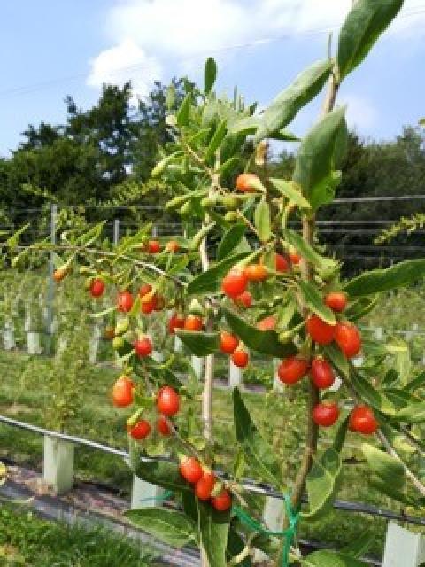Goji-Beeren Plantage