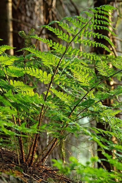 Wald-Farn