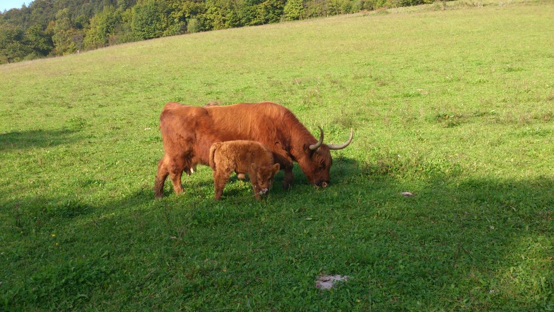 - Highland Cattle Zucht & Direktvermarktung