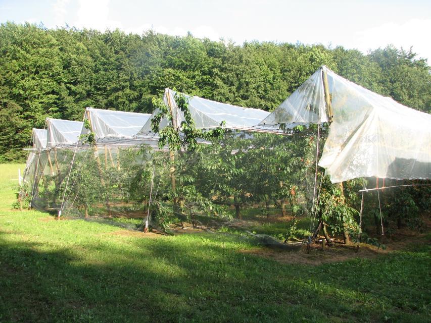 Baumschnitt für kleinkronige Bäume (Äpfel, Kirschen, usw.)