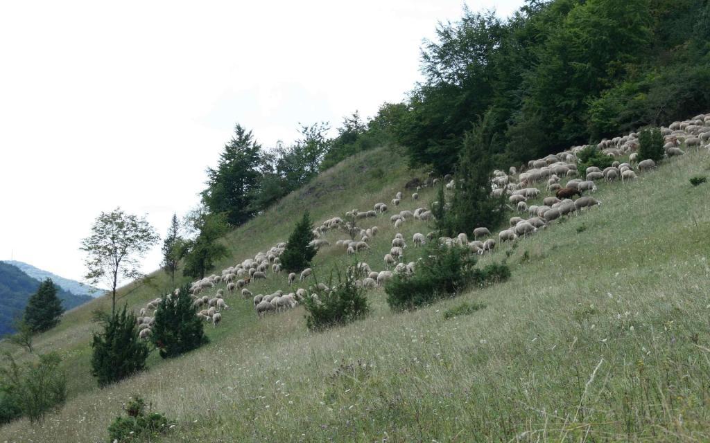 - Schafe Löffelstein