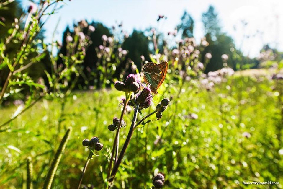 - Schmetterling