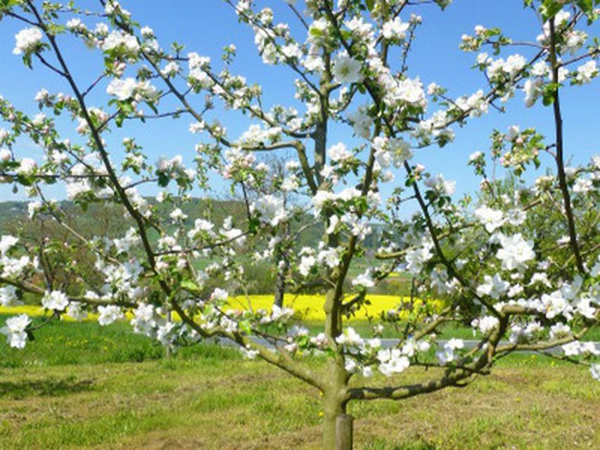 Kirschblüte im Trubachtal