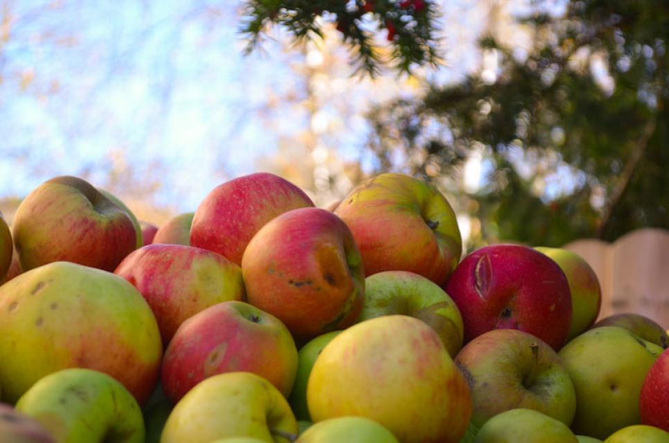 Mostäpfel warten auf die Weiterverarbeitung zum Cidre