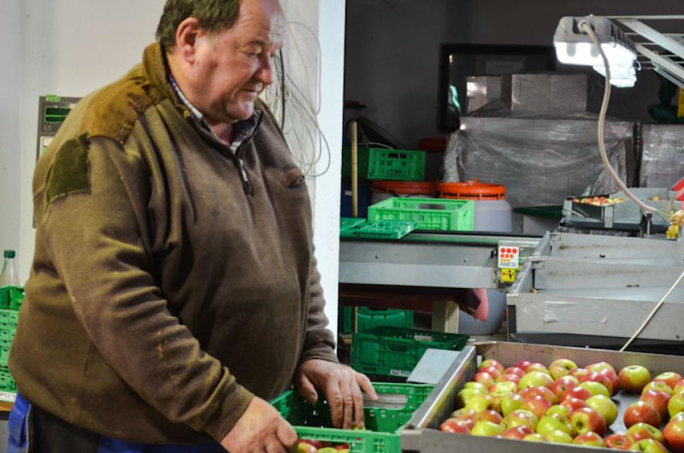 Willibald Schmidt beim Sortieren der Äpfel