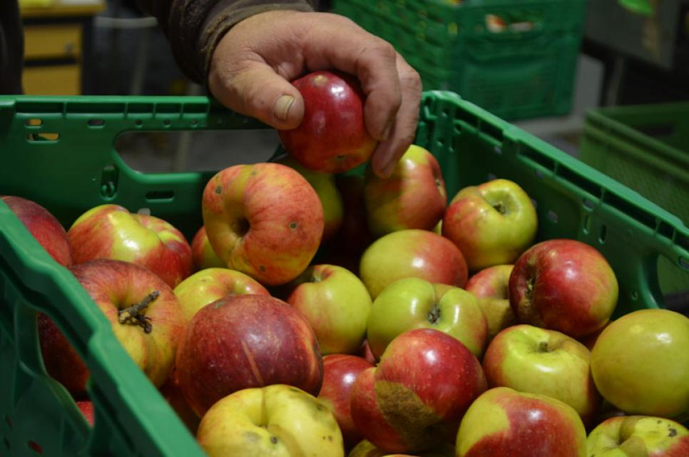 Äpfel aus biologischem Anbau werden hier für den Großhandel sortiert