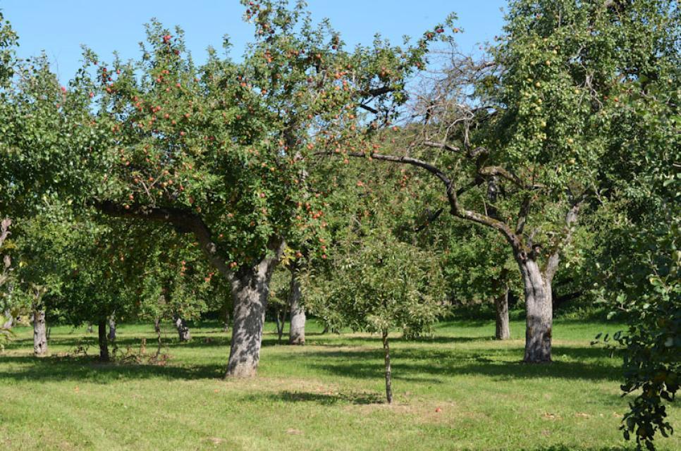 Die Äpfel reifen auf den Streuobstwiesen voll aus, bevor sie geerntet werden