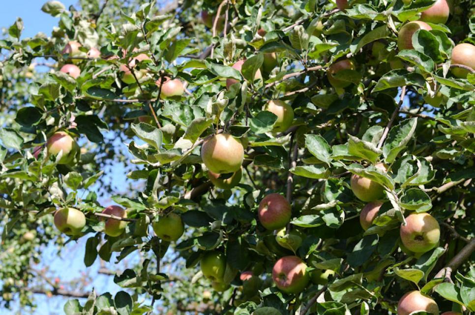 Äpfel uralter Sorten wachsen auf den Streuobstwiesen der Familie Singer