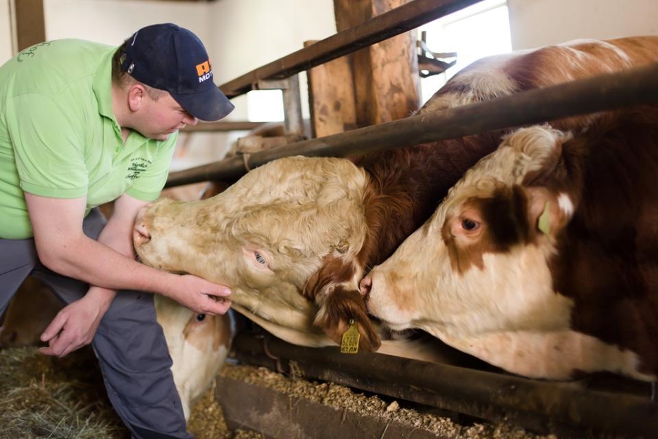 30 Rinder stehen bei Stefan Schaffer im Stall