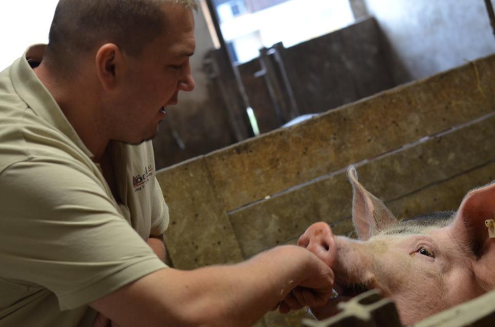 Schweinezucht in Laufställen