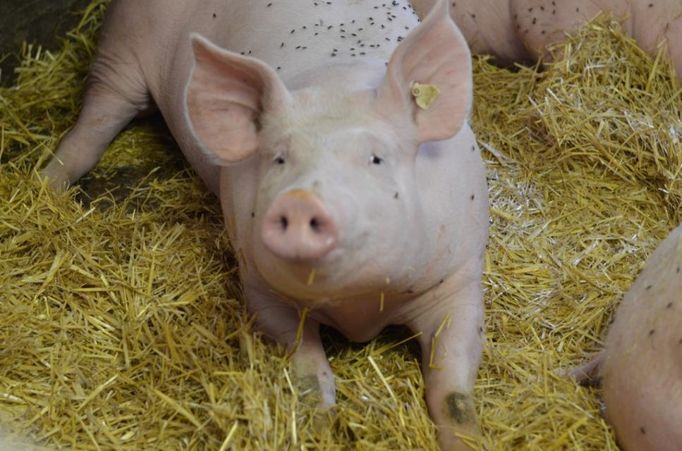 Schlaue Schweine