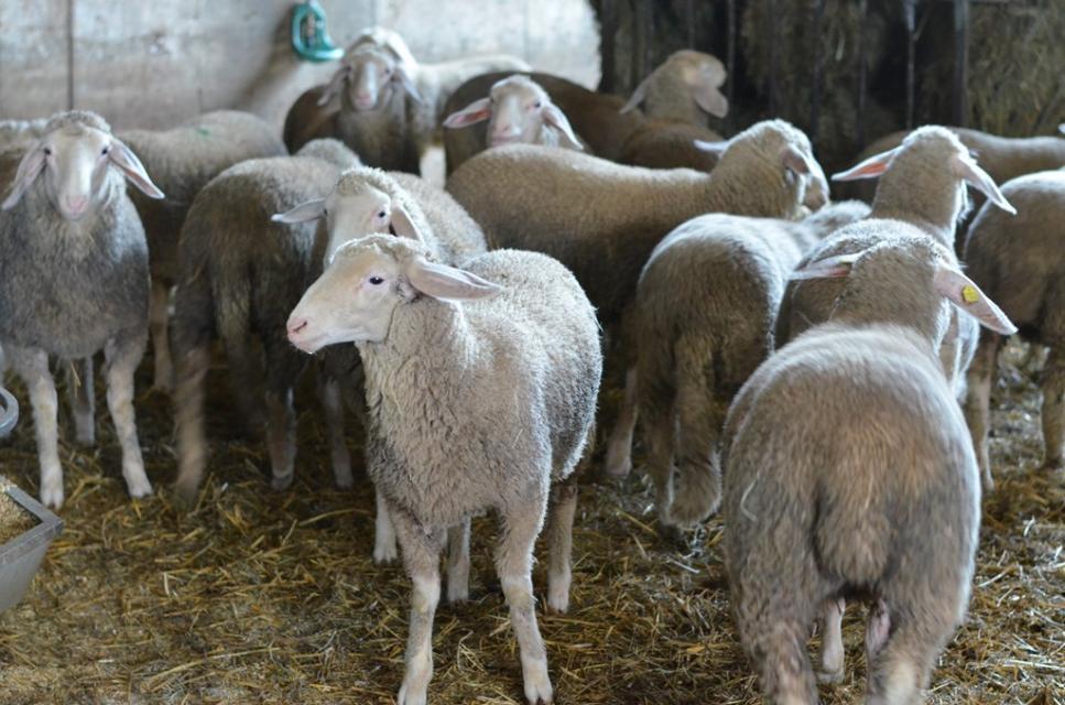 Gepflegter Schafbestand