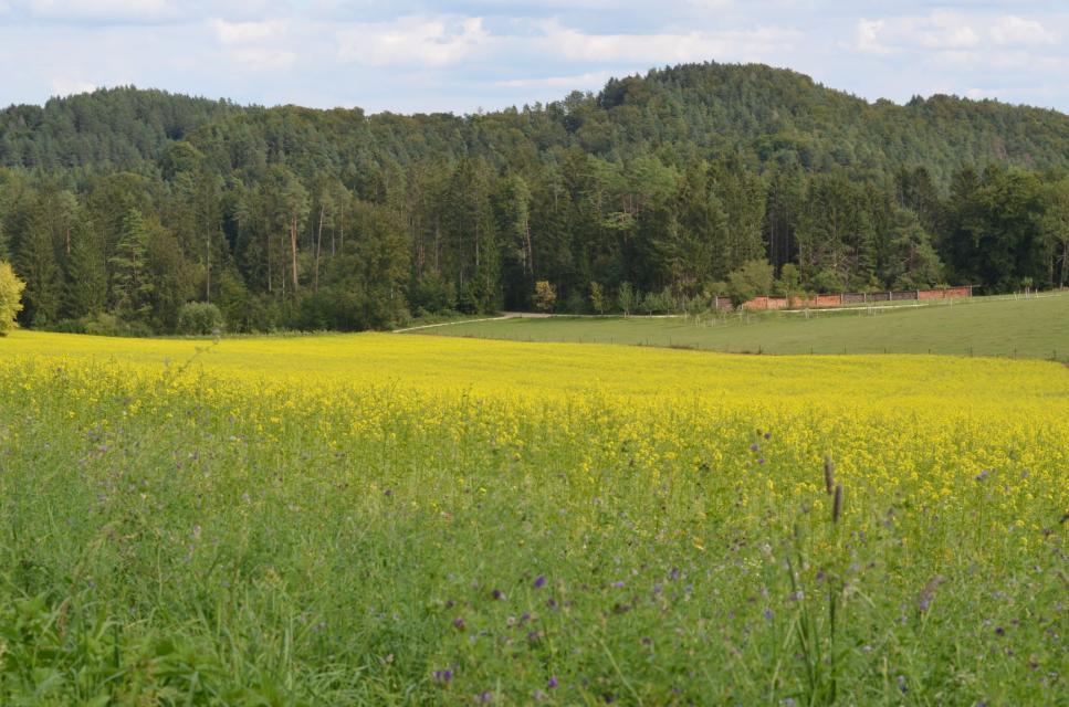 Blühstreifen am Rapsfeld