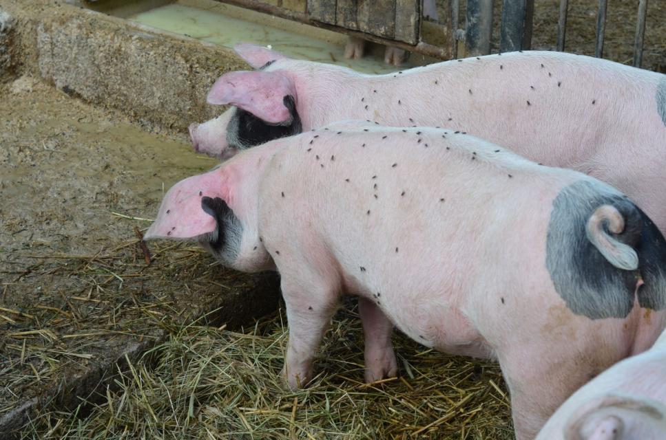 Molke wird an die Schweine verfüttert