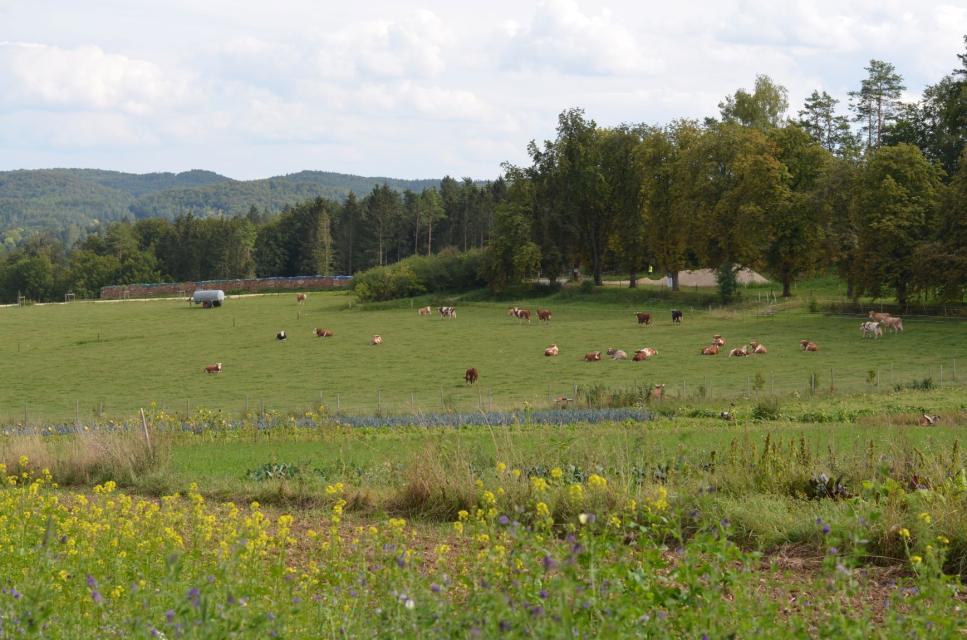 Gutes Futter finden die Kühe auf den Weiden
