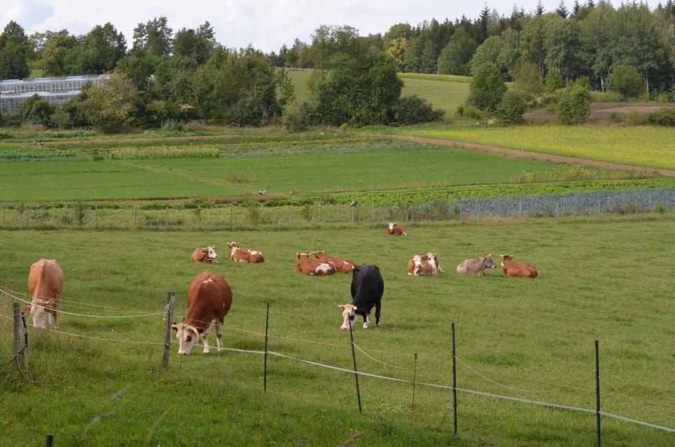 Rinder auf dem Münzinghof