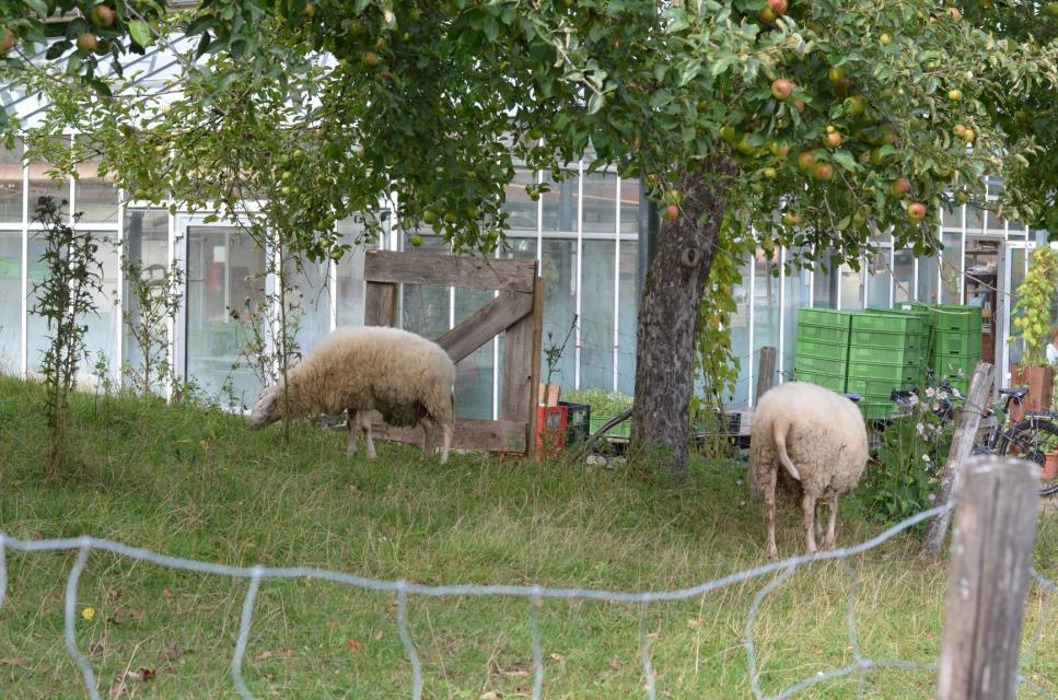 Schafe unter alten Obstbäumen
