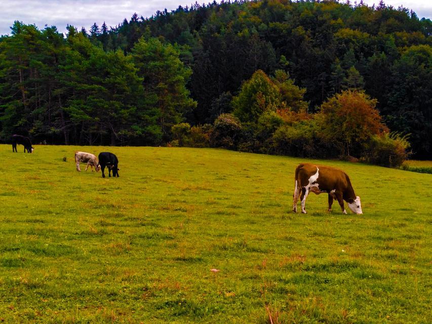 Rund ums Haus grasen die Rinder