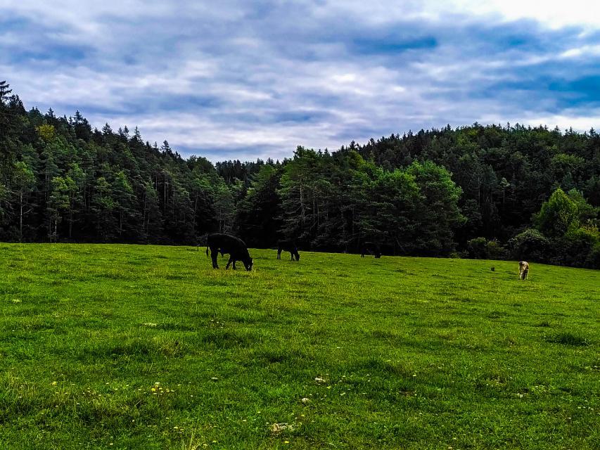 Zur Rinderherde gehören Wagyu-Rinder, Fleckvieh und Charolay-Limousin