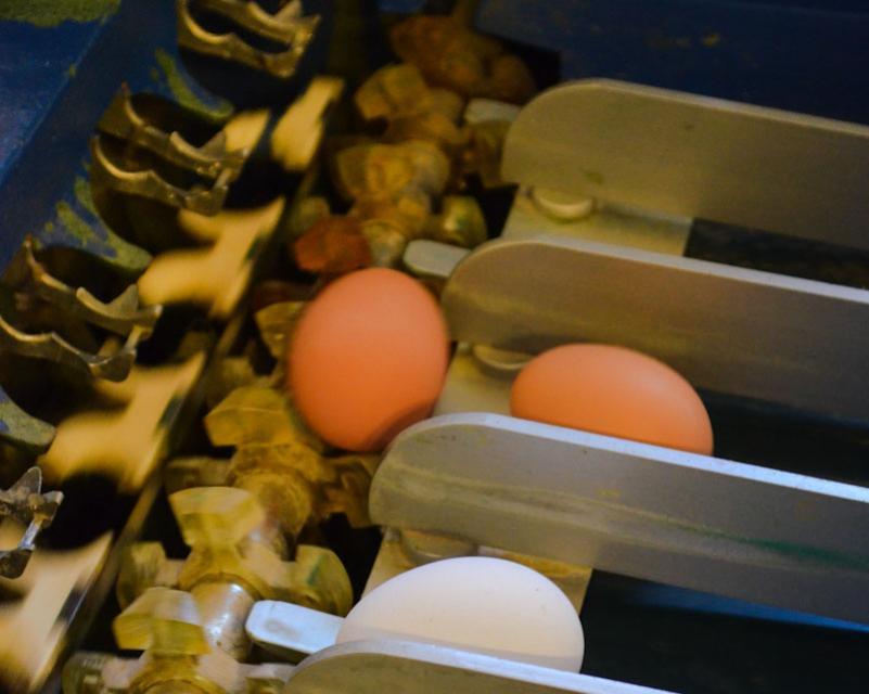 An der Sortiermaschine werden die Eier nach Größe getrennt