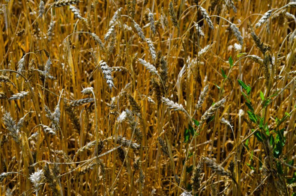 Nur ein paar Schritte vom Hof entfernt liegen die Getreidefelder