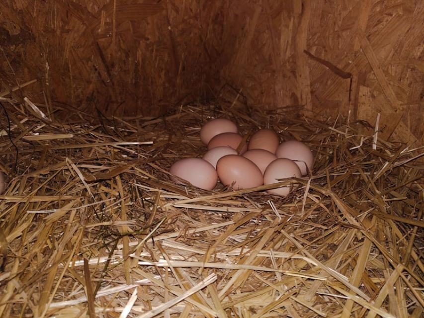 Frische Eier in den Strohnestern
