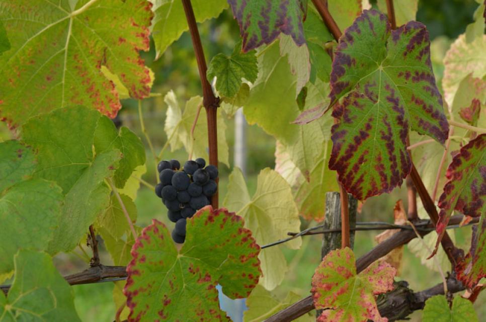 Im September reifen süße Weintrauben