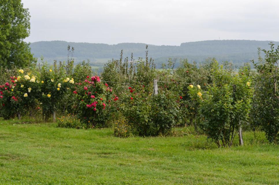 Jede Baumreihe im Obstgarten beginnt mit einem Rosenstrauch