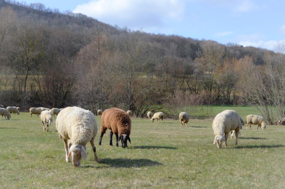 Auch im Winter sind die Schafe unterwegs und weiden Flächen ab, die die Landwirte freigegeben haben. Leider werden es immer weniger.