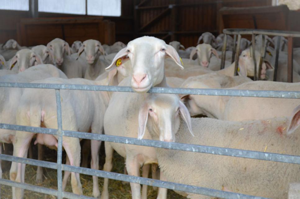 Die Schafe Ende März nach der Schur - Wolle ist mittlerweile ein Abfallprodukt, obwohl die Zucht seit Jahrhunderten auf Qualität setzt.