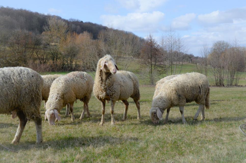 Die Schafe leben die meiste Zeit ihres Lebens auf den Wiesen der Fränkischen Schweiz