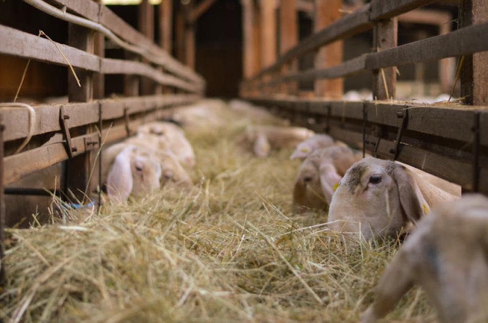 Im gemütlichen Stall leben die Schafe nur wenige Wochen im Jahr
