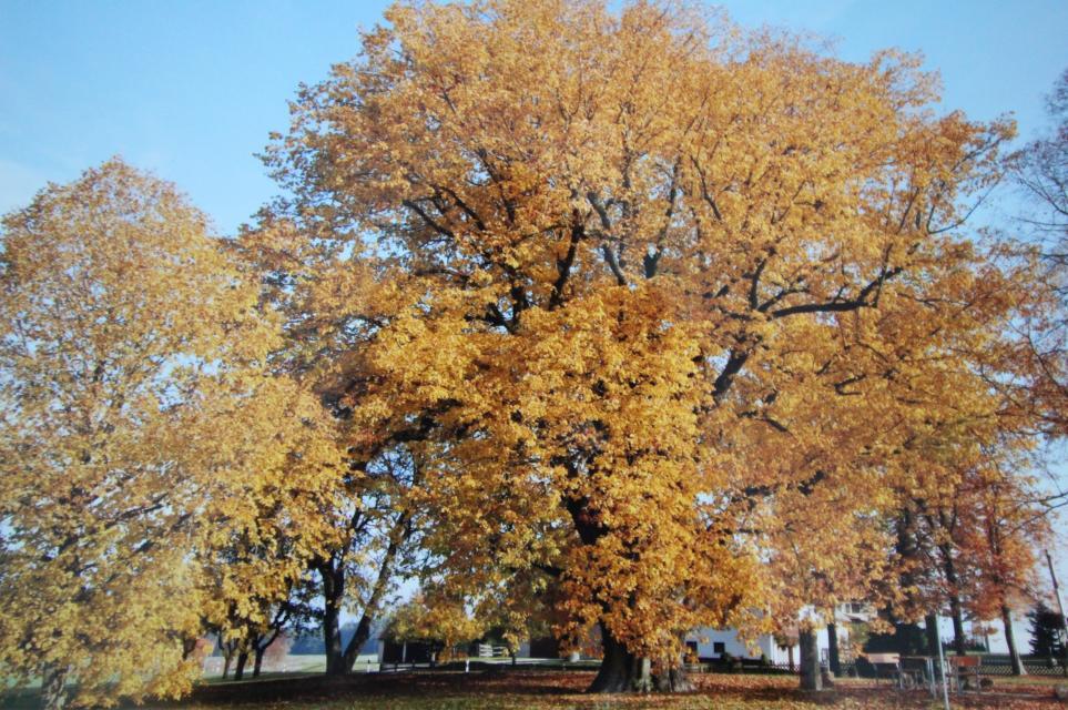 Russenlinde Herbst