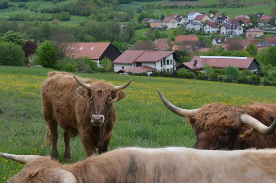 Zottelige Aubrac Rinder