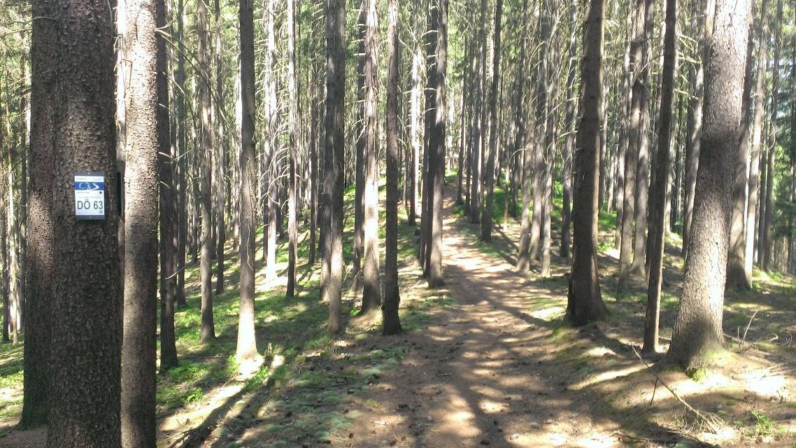 Lichter Fichtenwald
