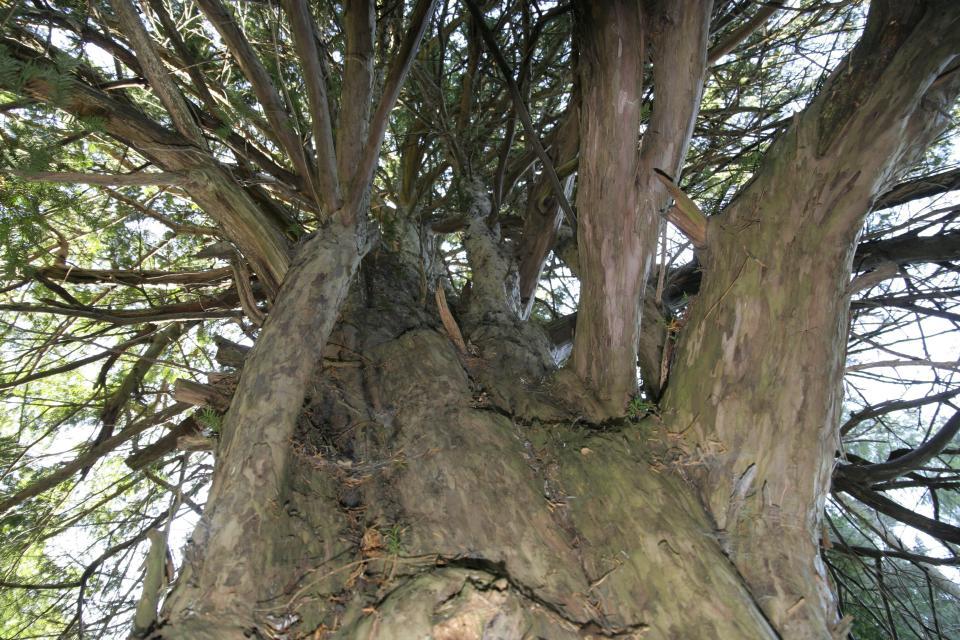 900-jährige Eibe bei Bernstein am Wald