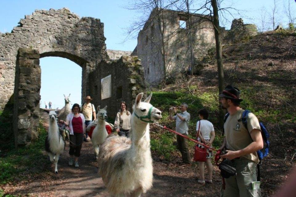 Haßberglamas auf der Burgruine Bramberg