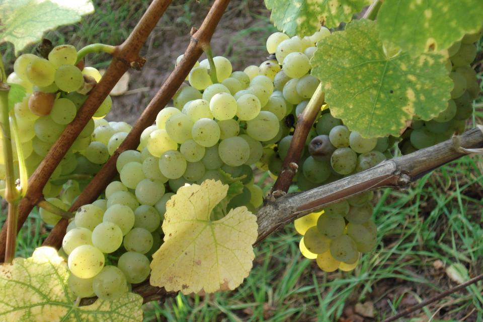Sonnenverwöhnte Trauben sorgen für charaktervollen Wein